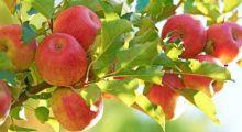APFELGENUSS HERZHAFT ODER SÜS Rezepttipp: Focaccia mit Äpfeln und Rosmarin