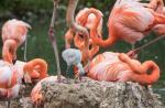 Flamingo-Küken noch flauschig und grau Bei den orange-roten Kuba-Flamingos zeigt sich der erste Nachwuchs